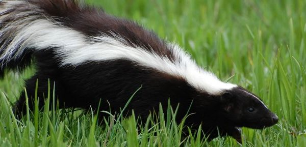 Skunk Trapping Removal 600x289
