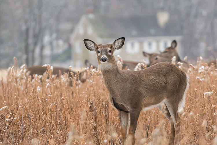 Whitetail Deer Grazing In Field