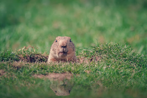 groundhog in nature