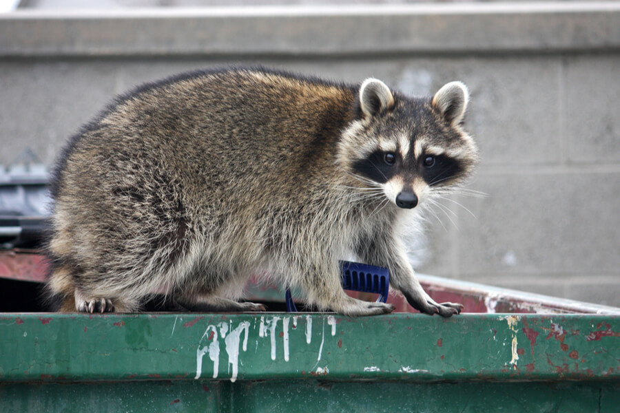 keeping raccoons out of garbage