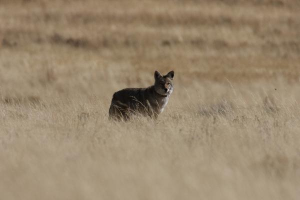 coyote in field