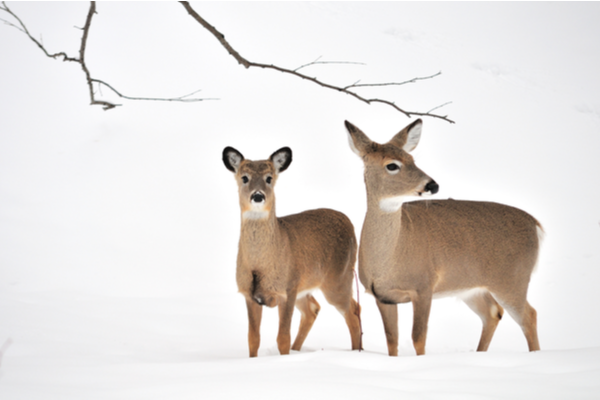 deer standing in snow