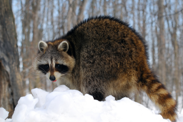 raccoon in snow