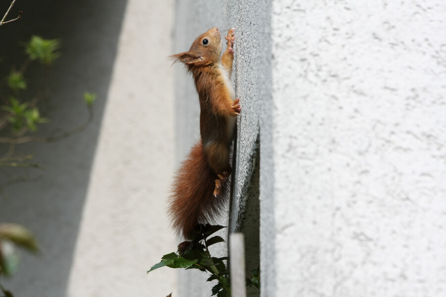 squirrels can be pests