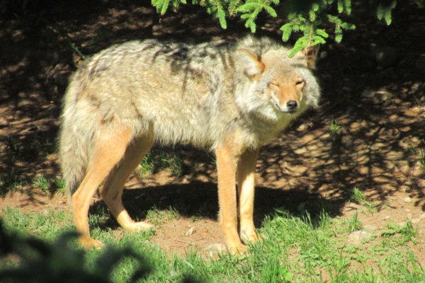 coyote in the sun