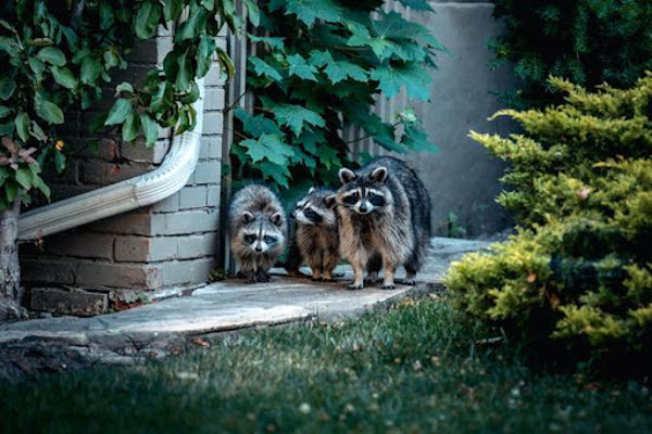 preventing raccoons