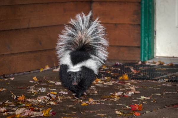 skunks away from house