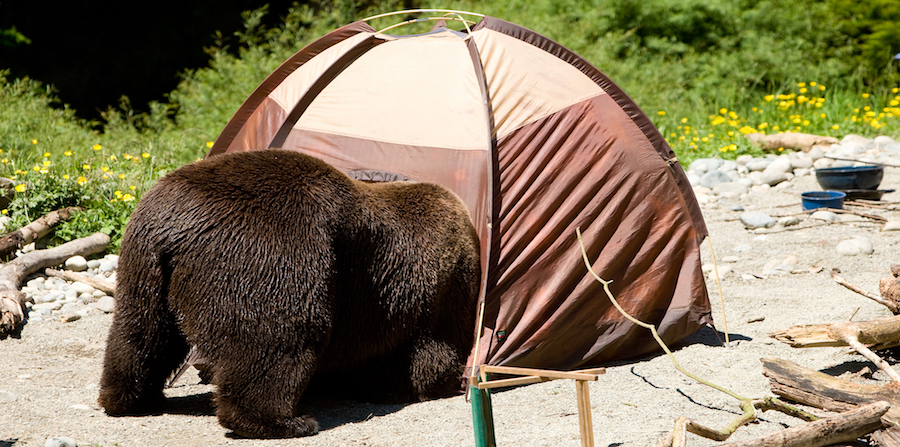 bear going into a tent