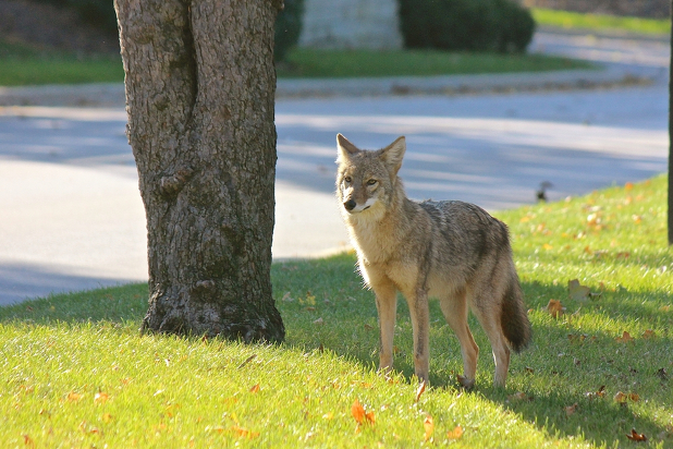 Coyote standing in yard in neighborhood