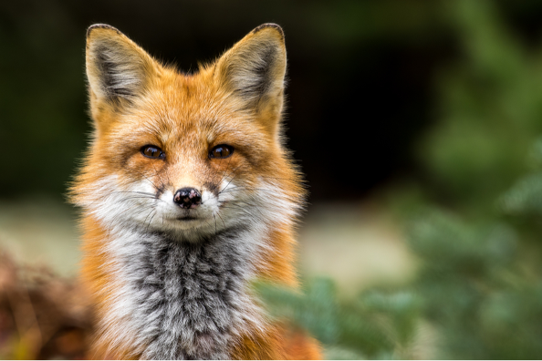 Red fox face and neck