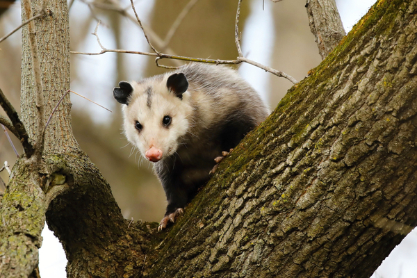 prevent opossums