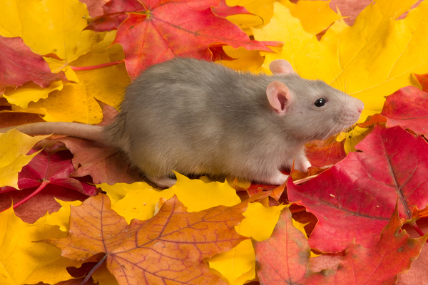 mouse in fall leaves