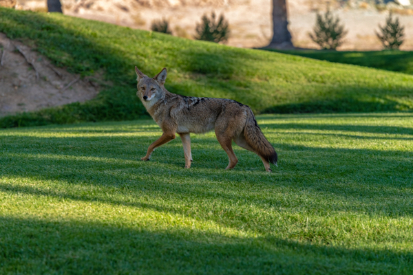 coyotes near my home