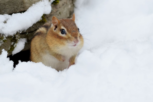 chipmunks in winter