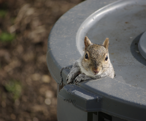 Squirrel sticking its head out of grey trash can